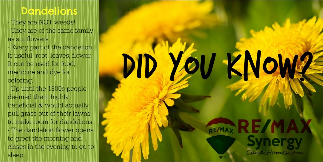 DID YOU KNOW? - Dandelions -
