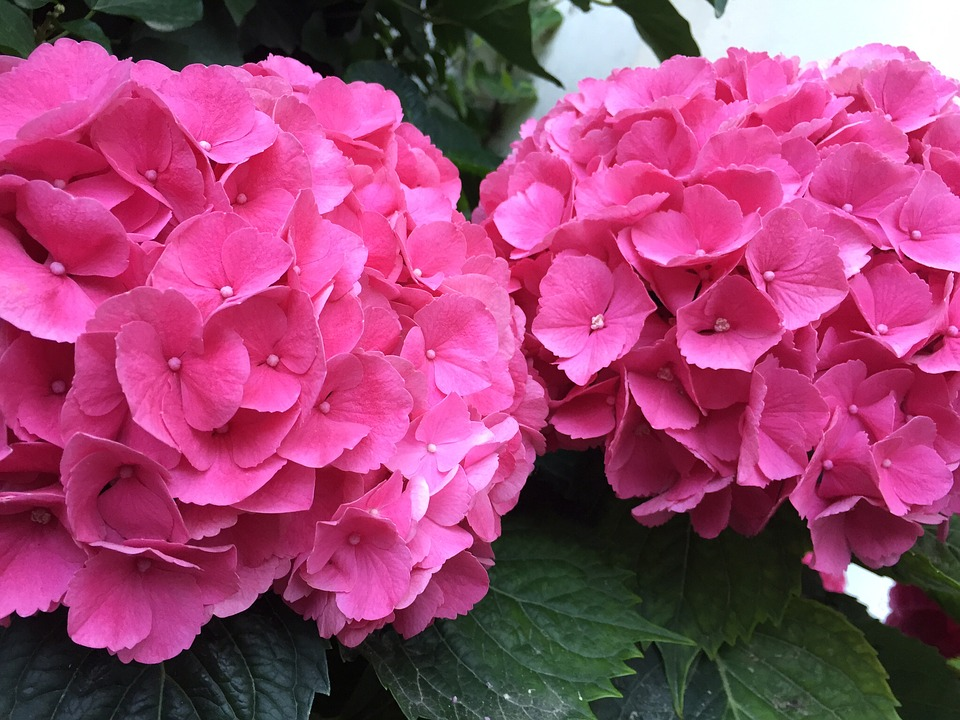 Hydrangea - Beautiful, colorful shrubs!